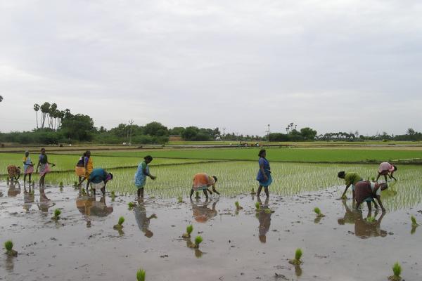 transplanting paddy 0